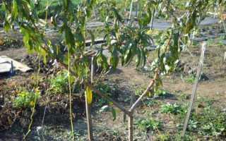 Когда лучше сажать персик осенью или весной