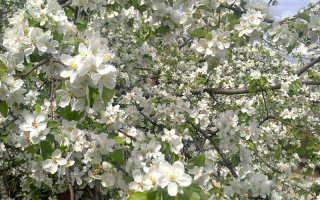 Садоводы делятся информацией почему яблоня не цветет