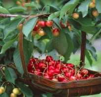 Выращивание черешни юлия