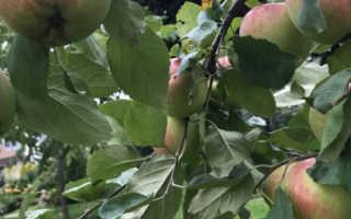 Описание яблони толунай