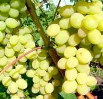 Настоящий принц среди придворных феномен среди десертных сорта винограда