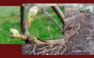 Когда и чем обработать виноград от болезней и вредителей