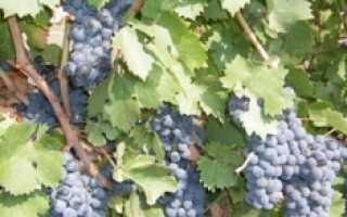 Сорт винограда красностоп золотовский