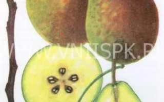 Описание сорта груши лесная красавица