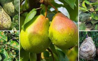Когда и чем обрабатывать грушу весной от вредителей и болезней