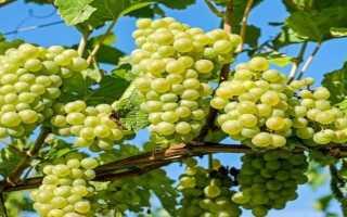 Общая информация о пересадке винограда
