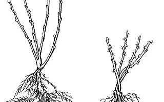 Посадка крыжовника и смородины осенью