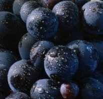 Сорт винограда гарнача описание вкус выращивание и уход фото