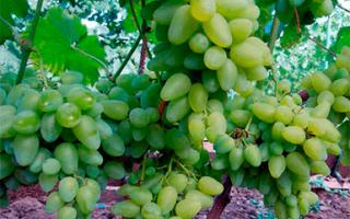 Виноград имени бажена