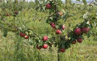 Яблоня антей описание и особенности выращивания