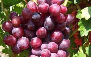 Виноград дунав как выращивать известный сорт