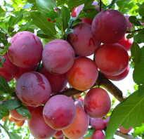 Наиболее частые причины опадания плодов сливы