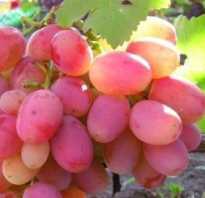 Памяти хирурга особенный сорт винограда