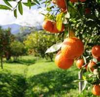 Важность подкормки для цитрусовых