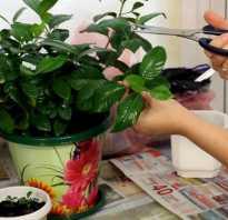 Размножение жасмина черенками весной