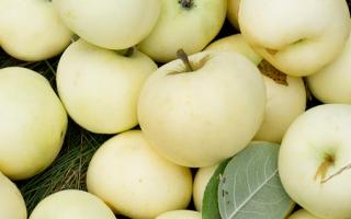 Летние сорта яблонь