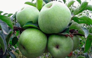 Яблоня семеренко в подмосковье