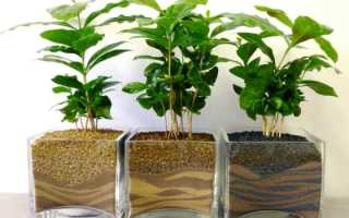 Грунт для кофейного дерева в домашних условиях