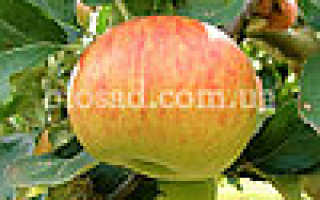 Монтуан яблоки описание сорта