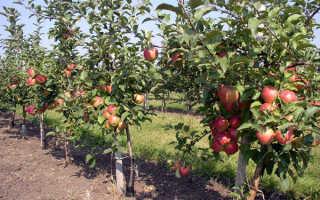 Прекрасная яблоня марат бусурин фото описание