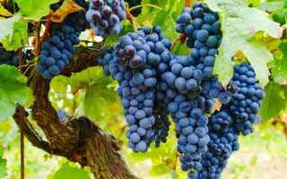 Обрезка винограда изабелла осенью