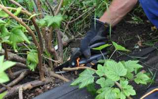 Как вырастить черную смородину из черенков