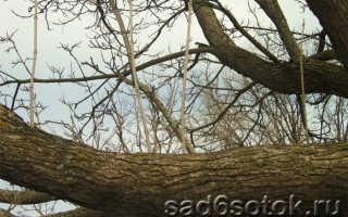 Что такое волчковые ветви яблони