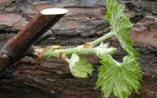 Размножение винограда черенками осенью в домашних условиях