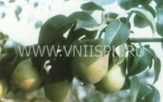 История груши сорта кафедральная