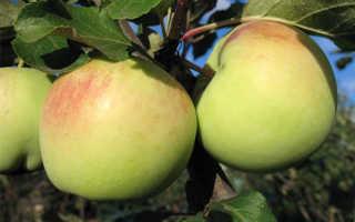 Характеристики и описание сорта яблони синап орловский