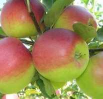 Выращивание яблони башкирская красавица