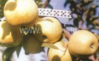 Характеристика яблони голден делишес