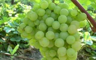 Характеристика винограда супага