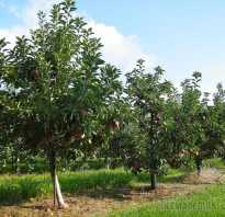 В саду много яблонь вишен смородины
