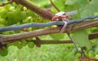 Выращивание винограда венус
