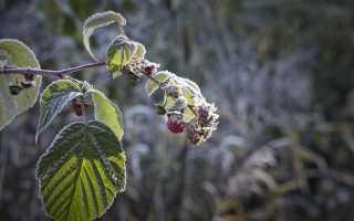 Как правильно ухаживать за малиной осенью