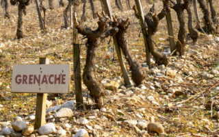 Характеристика сорта винограда гарнача