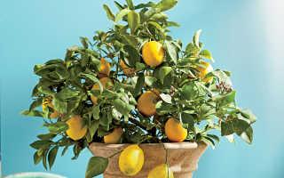 У лимона скручиваются листья как помочь растению