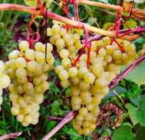 Виноград супага описание сорта достоинства и недостатки особенности выращивания фото