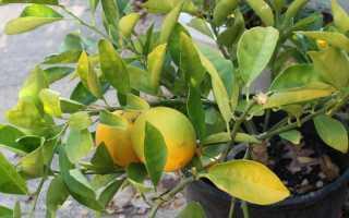 Что делать если у лимона опадают листья