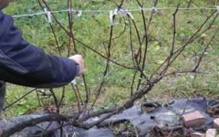 Способы обеспечить рост саженцев винограда на всех этапах