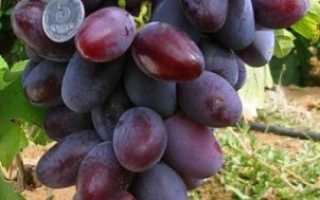 Виноград атаман уход за растением описание сорта отзывы садоводов
