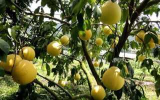 Особенности дерева помело