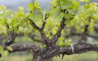 Как обрабатывать виноград в период цветения