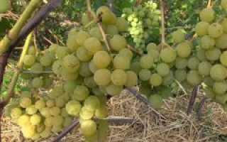 Открытый грунт урала для виноградарства