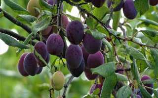 Особенности сорта сливы фиолетовая