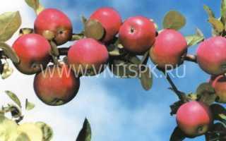 Яблоня орлик характеристика и описание сорта фото отзывы