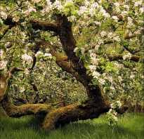 Борьба с черным раком на яблонях