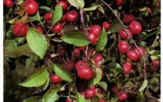 Райские яблочки сорт яблок