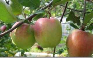 Зимняя красавица яблоня описание